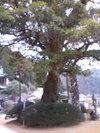 Seiganntoji_tabunoki_2