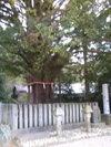 Kumano_hayatama_naginoki