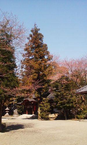 Sakurakaika_oyasiro