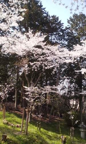 Oyamanosakura