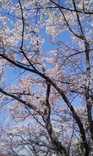 Oyamanosakura_eda