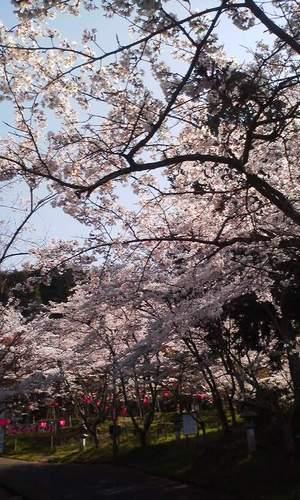 Oyamanosakura_sitakaramitazu