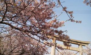 Hanami_sakuratotorii