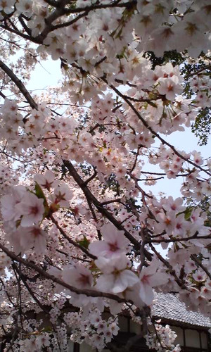 Tenjinsan_sakura_2