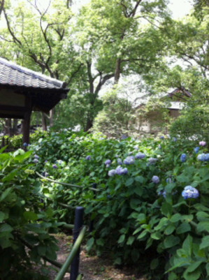 Ajisai_zentai