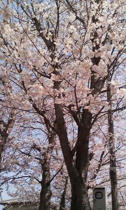 Kusatu_sakura