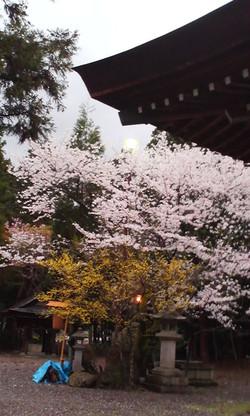 Harumaturi_yomiya_sakura
