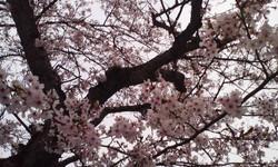 Ohanami_sakuraeda_2