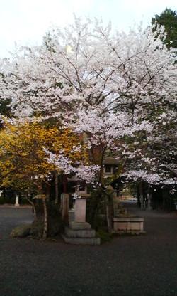 Harumaturi_sakura