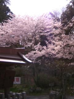 桜に惨敗…。